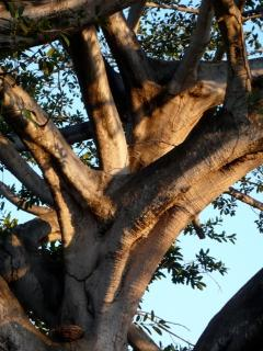 Salate tree