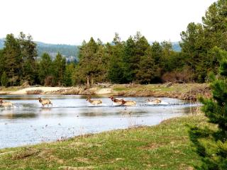 Wapiti in the Payette River