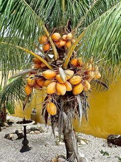 Tropische tuin met palmbomen, banananbomen en mangobomen.