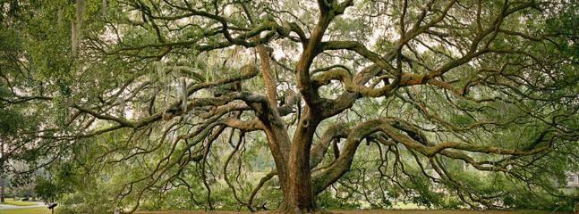 My neighborhood has magnificent oaks like this one, and others at Wormsloe and Boneventure
