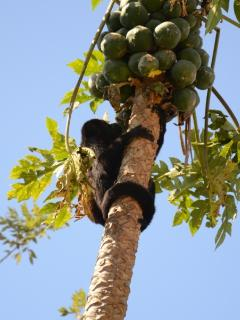 Howler Monkeys at Villa Celeste