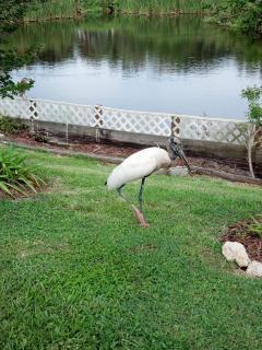 Our Neighborhood Wood Stork