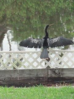Mr. Commerant Drys Off His Wings After a Swim
