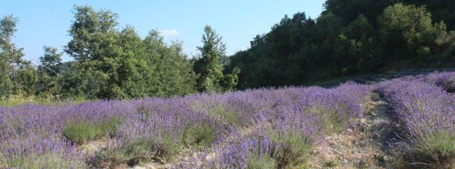 on of our lavenderfields in june