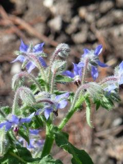 Our herb garden: Borage
