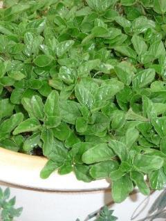 Our herb garden: Mint