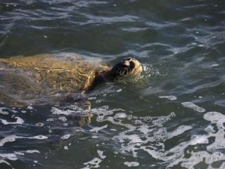 Honu (sea turtle) playing in front of home.