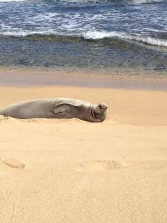 Hawaiian Monk Seal frequents the beach a block away