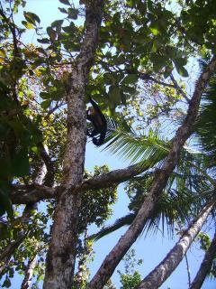 Monkey at Manuel Antonio Beach