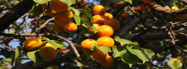 Apricots ready to pick in summer.