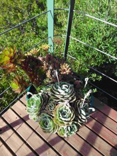Succulents on the Deck
