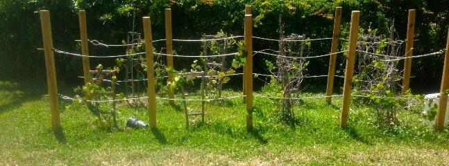 Organic Grapes when in season