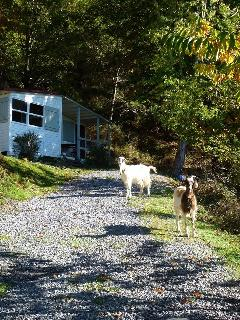 Our goats Dolly and Lottie!