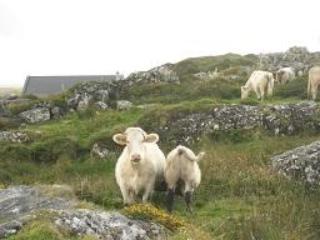 Connemara Cows