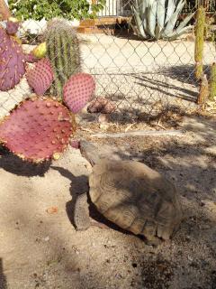 'Lois' our resident Desert Tortoise shows up in the Spring