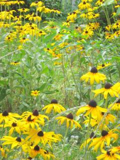 Black Eyed Susans in Garden