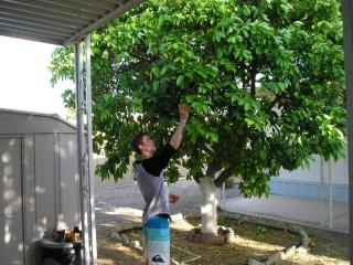 picking grapefruit from tree beside carport