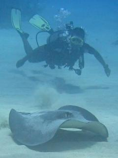 Big Stingray at Half Moon Caye