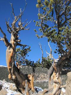Bristlecone Pines - several trails to these amazing trees in the area