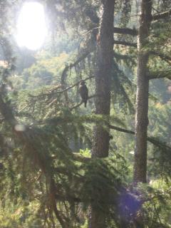 Hawk in Trees