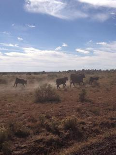 Roaming cattle near property