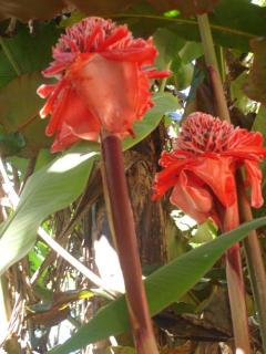 Torch ginger at the Hacienda