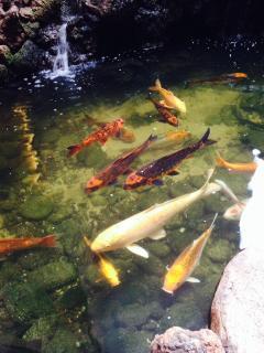 Koi fish pond in lobby