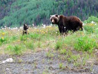 Wildlife Alaska Hwy a Haines Junction