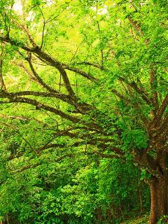 Pochote tree in green season