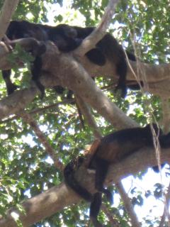 visiting howler monkeys enjoying a relaxing afternoon