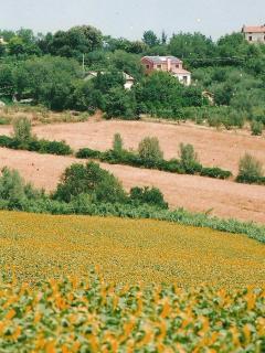 Sunflowers at La Bigiola