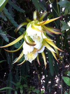 Dragon fruit flowers