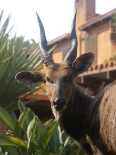 Nyala on the Estate