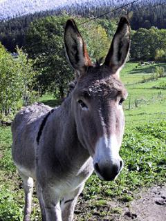Kasimir, the local donkey