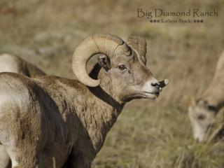 Wild Bighorn ram in Dubois, WY