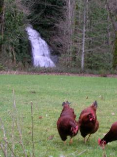 Chickens by the waterfall