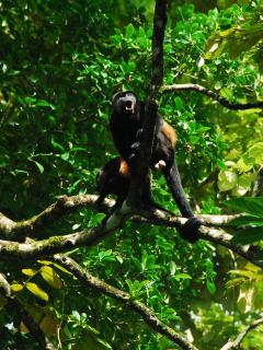 Howler Monkeys (photo taken ~5 minute walk from the house). They can be heard & behind the house.