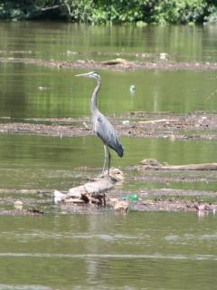After a heavy rain you will see Blue Heron's traveling down river on floating logs.