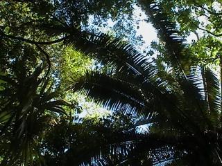 Towering Pristine Rainforest overhead