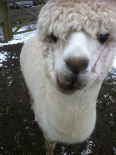 bubble our alpaca