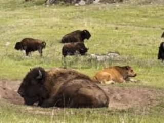 Buffalo in Custer State Park just miles away