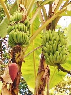 Enjoy fresh bananas, pineapples, papayas, and other fruits grown on the property.
