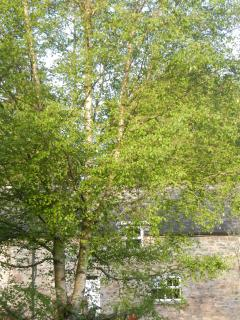 Silver birch tree in garden