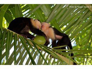 Whiteface Monkeys bezoek home