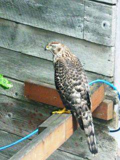 Hawk visiting