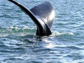 WHALE WATCHES from HYANNIS or P-TOWN
