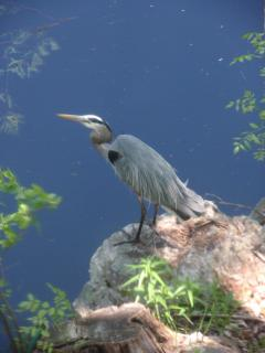 the Great Blue Heron on the Mill Pond