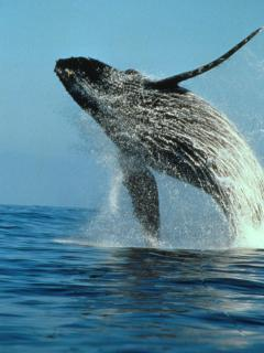 you might see a whale jumping with binoculars from your window