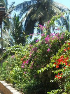 Bougainvillea on the drive
