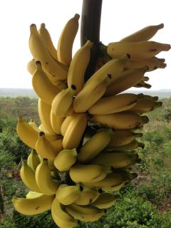 Bananas from our Banana trees